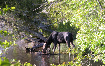 Photo of a moose feeding in a small body of water with vegetation in foreground on Isle Royale.