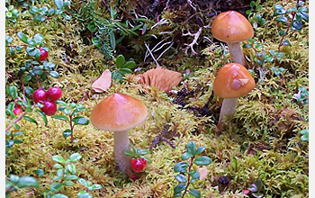 Photo of mushrooms, sphagnum moss and cranberry.