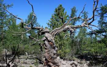 Image of an ancient Siberian pine tree in central Mongolia.