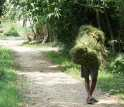 Image of a man carrying a bundle of grasses collected in a community forest in Chitwan, Nepal.