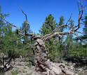 A dired Siberian pine tree in central Mongolia