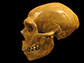 human skull, left, and Neanderthal, right