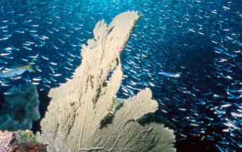 Image of a coral reef with large numbers of fish swimming above the coral.