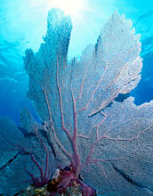 Image of a fan coral.