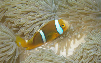 Image of a clownfish on anemone.