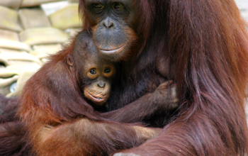 Photo of a mother-son orangutan pair housed at Zoo Atlanta.