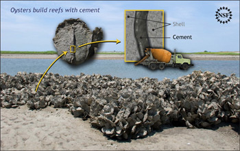 Illustration showing how oysters build their reefs using a specialized cement.