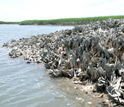 Photo of an oyster reef in the Baruch Marine Field Laboratory on the South Carolina coast.