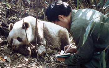 Photo of a researcher taking notes next to a wild Qinling panda.