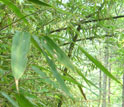 Close-up photo of bamboo leaves in western China.