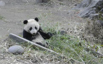 Image of panda sitting in the grass