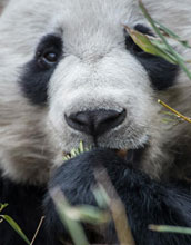 closeup of a panda's face