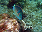 stoplight parrotfish feeding on algae