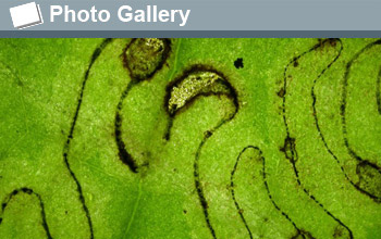 a pattern created by a leaf miner insect with the words Photo Gallery.
