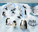 Depicted here is a summary of an Emperor Penguin's yearly lifecycle.