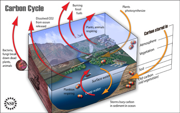 Illustration showing the carbon cycle.