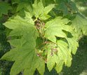 Photo of Vine Maple leaves and flowers.