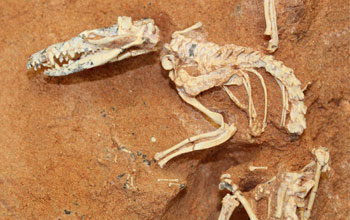 Photo of a Cretaceous-age mammal scheleton uncovered in the Gobi Desert.