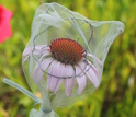 a pollinator exclusion bag covering a coneflower