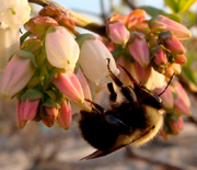 A bumblebee forages on blueberry flowers