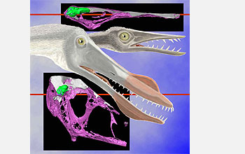 several views of pterosaur skulls