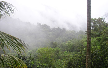 Trees and mist by El Yunque.