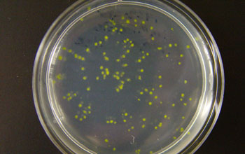 Image of green colonies of Prochlorococcus on an agar plate.
