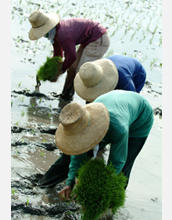 Photo of farmers transplanting rice to their fields.