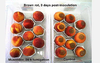 Treated peaches look healthy; untreated peaches covered in moldy residue.