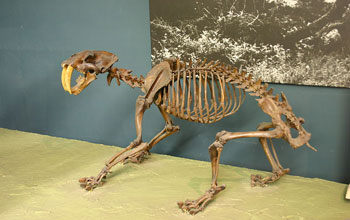 Image of a skeleton of a crouching saber-toothed cat.