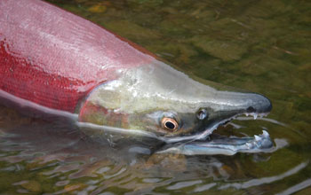 Close up image of a red sockeye salmon in water