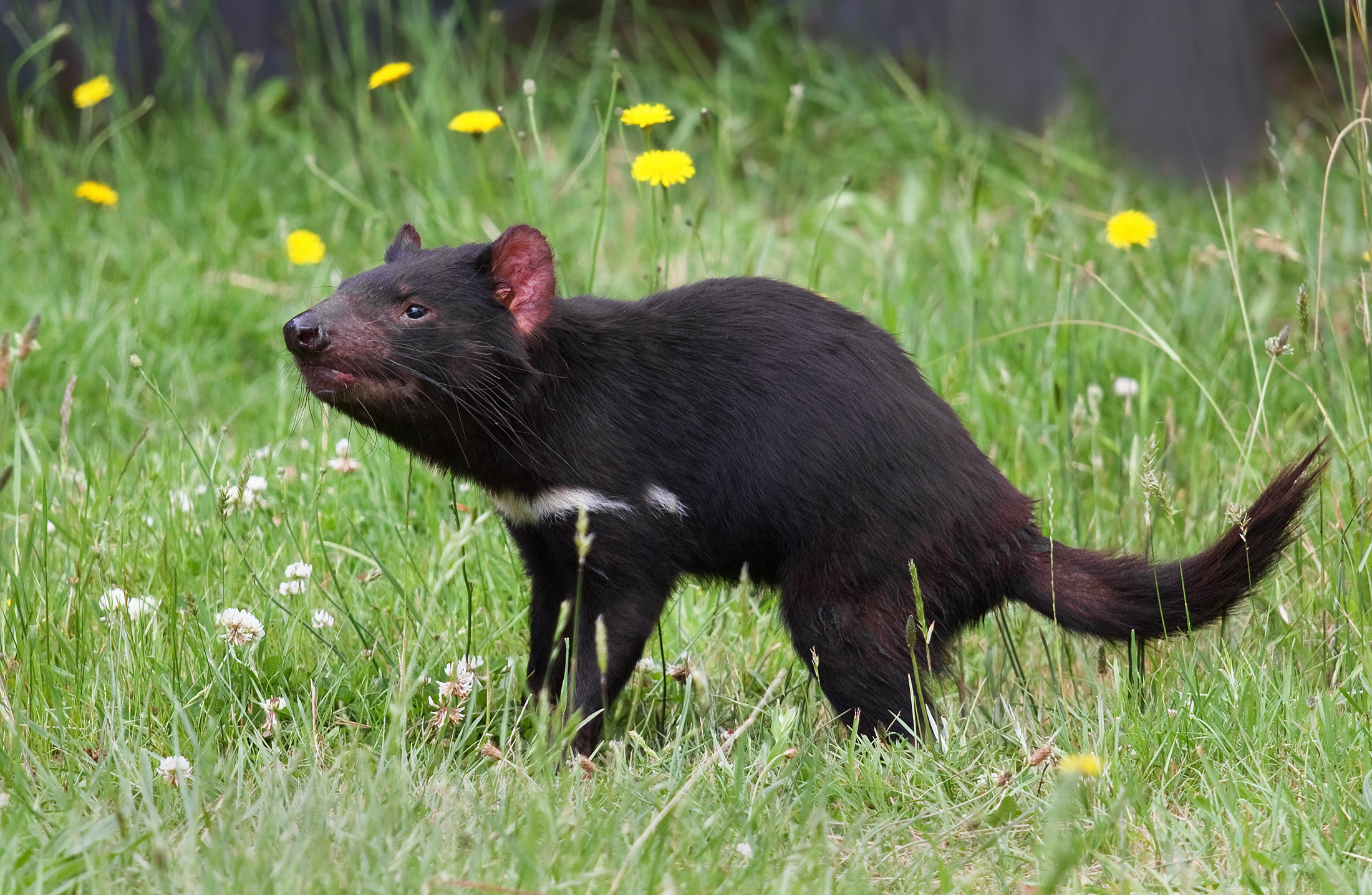 This still-healthy Tasmanian devil's future hangs in the balance.