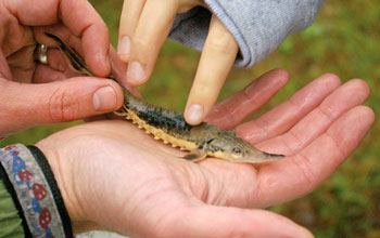 Photo of a baby lake sturgeon cradled in a child's hand.