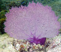 A purple sea fan under water