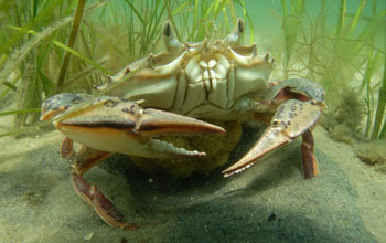Underwater image showing a crab in the foreground and eelgrass in the background.