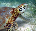 Underwater image showing a sea turtle with seagrass on the sandy bottom.