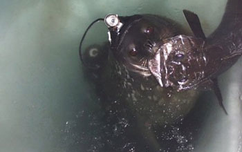Photo of seal with fish in its mouth