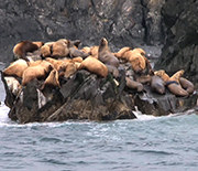 Domoic acid can sicken and kill California sea lions.
