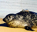 Satellite tagged harbor seal