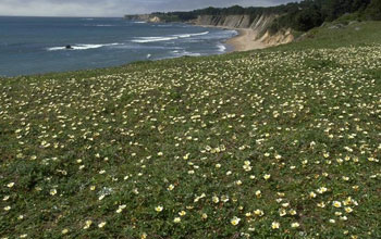 Image of beach strawberry, Fragaria chiloensis, at Schooner Gulch State Park in California.
