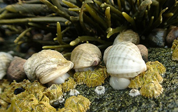 Dogwhelks feed on barnacles