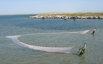 Photo of Lyndie Hice and Glenn Wagner seining for Atlantic silversides near Cape Hatteras.