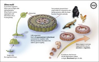 Illustration showing how formation and function of some slime mold cells are similar to animal cells
