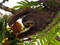 a pale-throated (three-toed) sloth