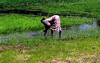 Photo of woman working in a rice field.