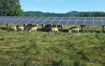 sheep graze under the 35th Street Solar Array