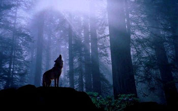 Image of a wolf howling in the forest.