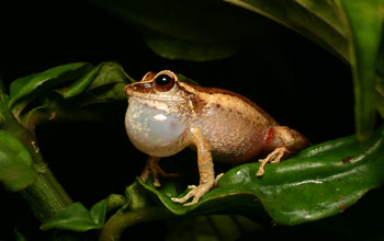 Image of a frog with an enlarged neck sac croaking.