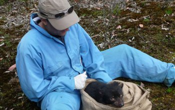 Scientist Andrew Storfer checking a Tasmanian devil for tumor facial disease.