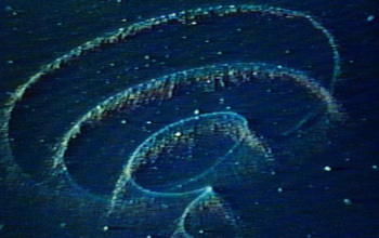 A siphonophore is coiled in mid-water depths, tentacles dangling